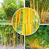 Fargesia fungosa bamboo seeds hardy clumping type garden decoration plant 50pcs bonsai plant home garden (Color: mix)