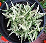 Dwarf Whitestripe Bamboo - Pleiblastis fortuni - Grow Indoors/Out - 4