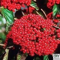 Red BalloonTM Viburnum Shrub-Crisp White Flowers/Bright Red Berries-Proven Winners