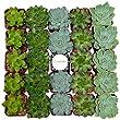 Shop Succulents Rosette Succulent (Collection of 32)