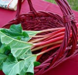 Victoria Red Rhubarb - Perennial - Easy to grow