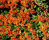 Sycamore Trading PYRACANTHA Orange Glow x 5 Young Plants