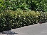 【6か月枯れ保証】【生垣樹木】トキワマンサク青葉赤花 1.0m 10本セット