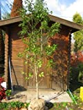 ソヨゴ単木 樹高1.8m前後【雄雌選択不可】