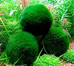 Roodle 8-15 Years Old 3 Giant Living Marimo Moss Balls with Nano Marimo