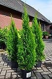 Smaragd Lebensbaum Thuja occidentalis Smaragd 80 - 100 cm hoch