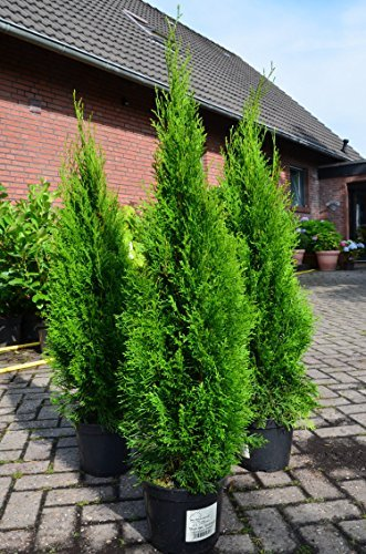 smaragd lebensbaum thuja occidentalis smaragd 80 100 cm hoch im 5 liter pflanzcontainer. Black Bedroom Furniture Sets. Home Design Ideas
