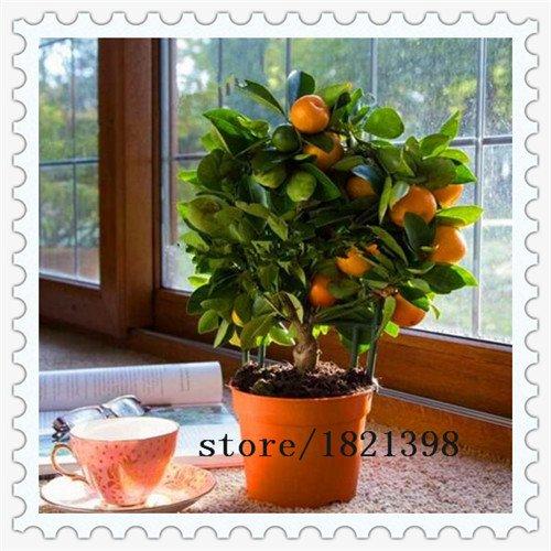 nave-libera-50-semi-balcone-patio-vaso-di-frutta-alberi-semi-piantati-kumquat-semi-arancione-semi-ma