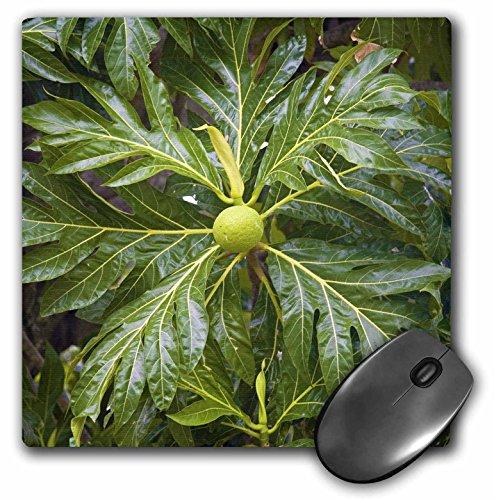 Danita delimont trees breadfruit tree moorea french for Alif tree french cuisine