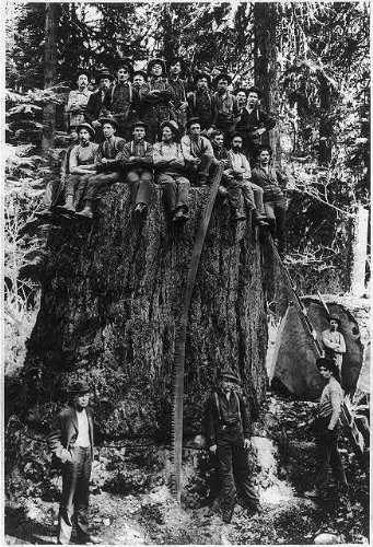Fir tree,Lumberjacks,St. Louis World's Fair,stump,c1904