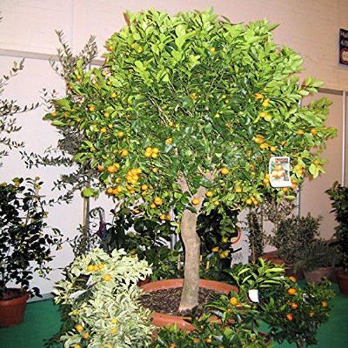 miniature-tangerine-citrus-reticulata-dwarf-tree-perfect-for-container-5-seeds