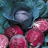 Suttons Seeds 154665 Cabbage Red Drumhead Seed