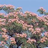 Albizia julibrissin Rosea - 1 tree