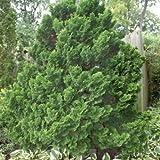 Hinoki Cypress Chamaecyparis Obtusa Seeds