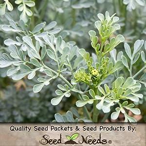 100 Seeds, Rue Herb (Ruta graveolens) Seeds By Seed Needs