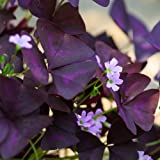 20 Oxalis Triangularis Bulbs - Purple Shamrocks - 20 robust bulbs #1 Tubers - Grows Indoors & Out from Easy to Grow TM