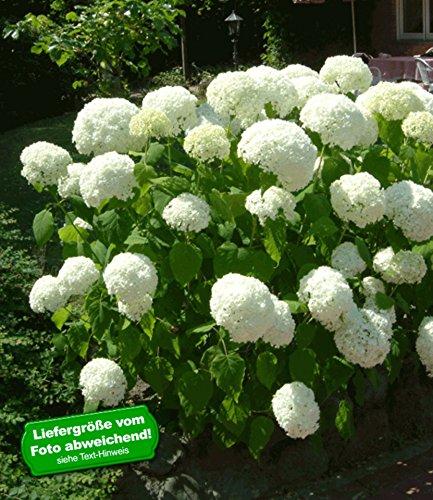 baldur garten schneeball hortensie annabelle 1 pflanzen. Black Bedroom Furniture Sets. Home Design Ideas
