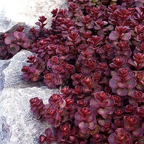 200 Sedum voodoo seeds,Perennial