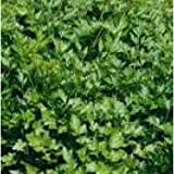 Herb Seeds - Parsley French - 6000 Seeds