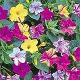 1-Pack-20-Seeds-Fragrant-Mix-Color-Arabian-Jasmine-Garden-Flower-Seed