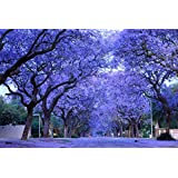 Blue Purple Jacaranda Jacaranda Mimosifolia Tree Shrub Heirloom 30 Bulk Seeds