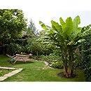 Winter Hardy Basjoo Banana Plant - Musa - 4
