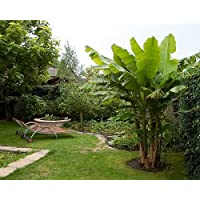 Winter Hardy Basjoo Banana Plant - Musa - Grow Bananas in the North