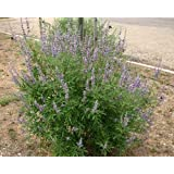 500 Chaste Tree Seeds, Vitex Agnus-castus