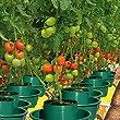 tomaten pflanzen kaufen