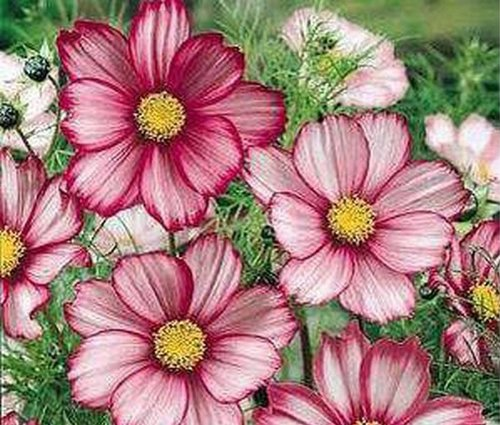 Cosmos- Candy Stripe - 25 Seeds
