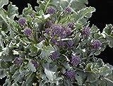 SeeKay Broccoli F1 Cardinal - Purple late Sprouting 200 seeds