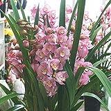 シンピジューム 鉢植え ピンク系4本立ち お祝いなどの花 ギフト