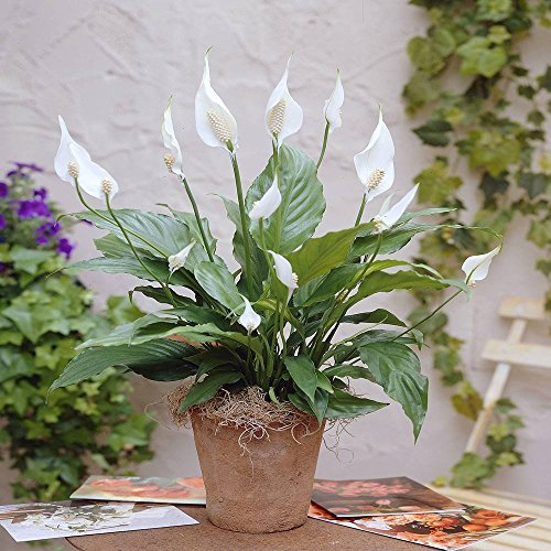 spathiphyllum-chopin-peace-lily-1-plant