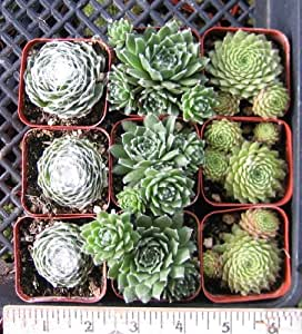 "9 Misc Sempervivum Hens N Chicks 2"" Pots"