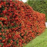 1 X PYRACANTHA 'RED COLUMN' RED FIRETHORN EVERGREEN SHRUB GARDEN PLANT IN POT