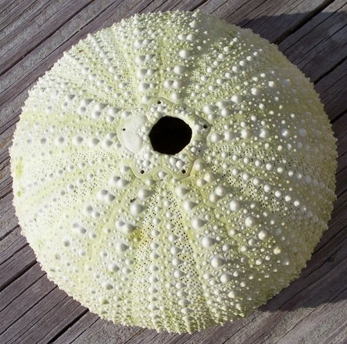 Green Sea Urchin -New England Sea Shell