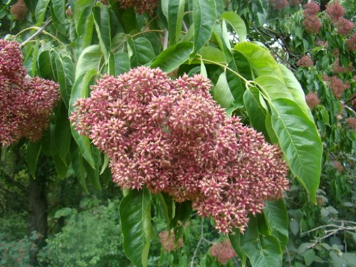 bee-albero-evodia-hupehensis-in-vaso-da-9-cm-esotico-albero-con-alzatina-profumata-fiori