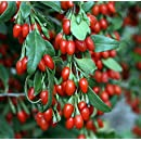 Sweet Lifeberry ® Goji Berry Plant - Lycium - The Super Fruit - 4