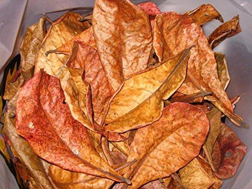 1-Lot-de-10-grandes-feuilles-de-catappa-sans-traitement-chimique
