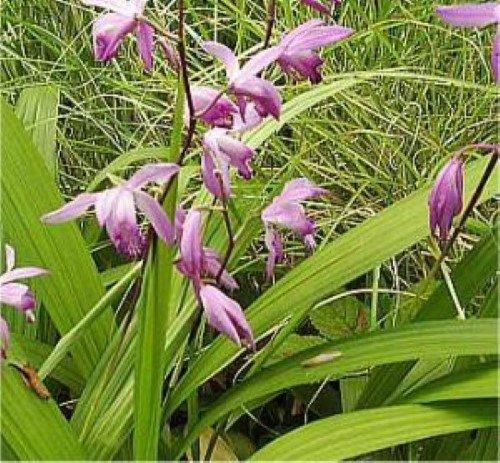 freiland orchidee preisvergleiche erfahrungsberichte. Black Bedroom Furniture Sets. Home Design Ideas