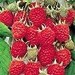 Rubus idaeus Raspberry Zeva - 2 plants