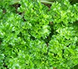 Curly Parsley Herbs in 9cm pot x 3.