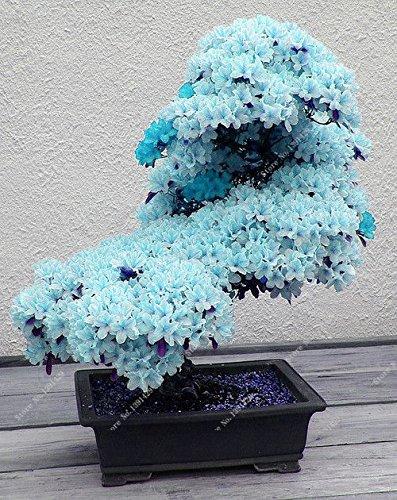 15pcs-rari-blu-semi-sakura-japanese-bonsai-fiore-di-ciliegio-ornamentali-piante