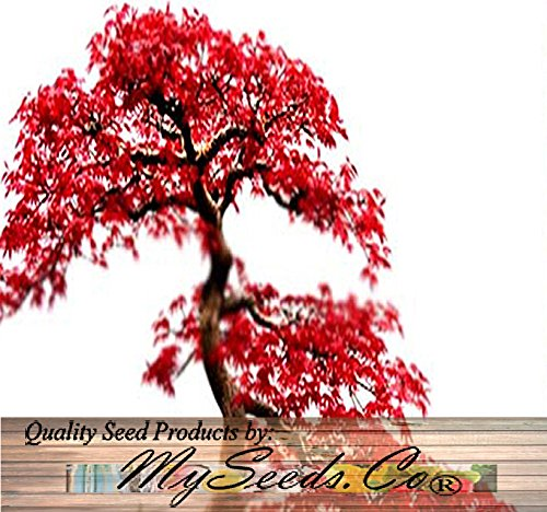RED MAPLE Tree Seeds - Acer rubrum - EXCELLENT for JAPANESE BONSAI - Grows In Full Sun OR Partial Shade - By MySeeds.Co (Red Maple x 1 Pack) (Red Bonsai Tree compare prices)