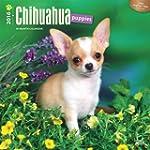 Chihuahua Puppies 2016 - Chihuahua We...