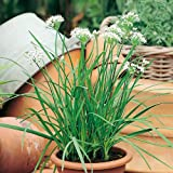 Suttons Seeds 164638 Chives Gigantic Herb Seed