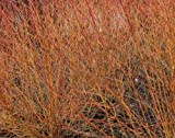 Cornus sanguinea - Dogwood bareroot x 3