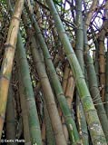 Chinese Bamboo 50 Seeds, Perfect Ornamental DIY Home Garden Plant, Edible Bamboo Shoots