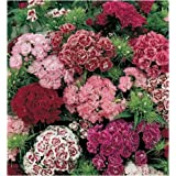 DIANTHUS BARBATUS-SWEET WILLIAM 2 PACK*50 SEEDS COMBO BY SUPER AGRI GREEN (winter Season)