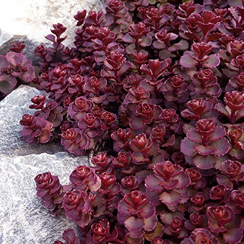 50 Groundcover Seeds - Stonecrop Sedum -